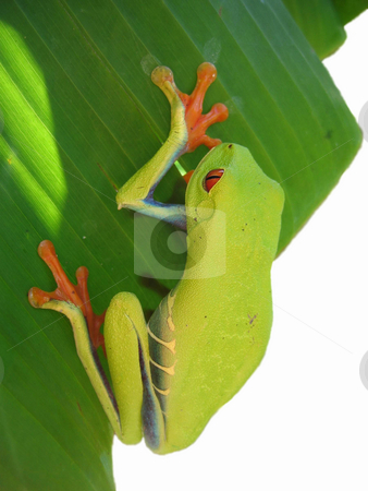 Just hanging stock photo, Red eyed tree frog hanging on a leaf with white background by Karin Claus