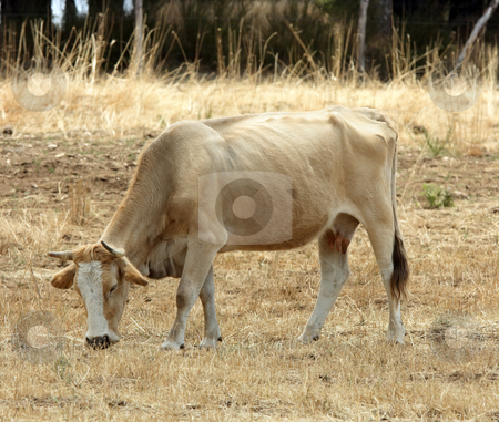 Red cow stock photo, Red cow pasturing over torrid field by Natalia Macheda