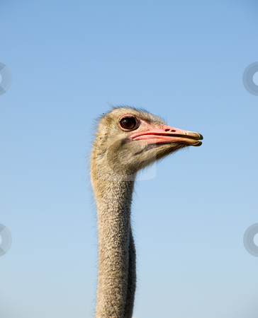 Ostrich stock photo, Profile of ostrich with a clear sky background. by Sinisa Botas