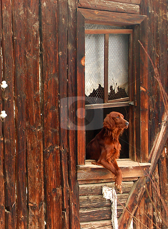 Home Alone stock photo, Brown dog outside a shack window at turkish countryside by Kobby Dagan