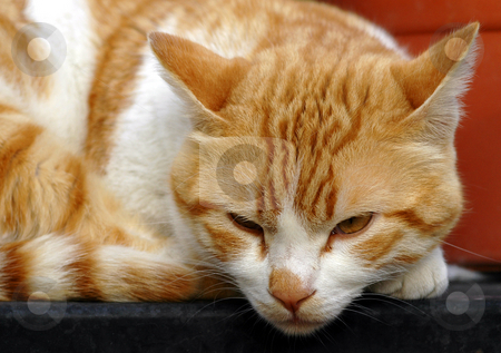 Cat stock photo, Close up on a white orange cat by Kobby Dagan