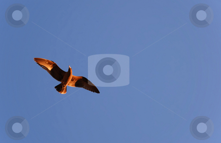 Bird Flying in Sunset stock photo, Brown bird shown against blue sky flying in sunset by Denis Radovanovic
