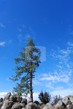 Lonely Tree stock photo, Lonely pine tree on a rocky terrain shown against blue sky by Denis Radovanovic