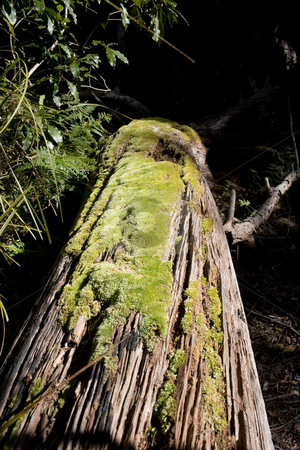 Moss stock photo, Moss on a tree trunk by Nicholas Rjabow