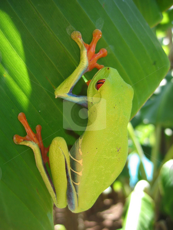 Just hanging  stock photo, Red eyed tree frog hanging on a leaf with a natural  background by Karin Claus