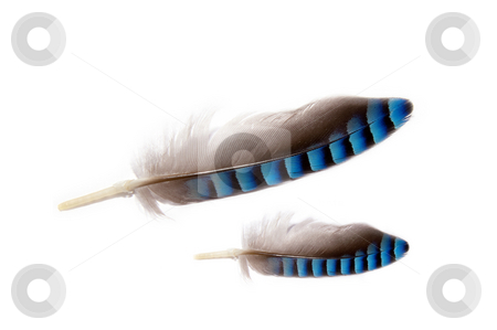 Two feathers  stock photo, Close up of two feathers grey and blue colored on a white background by Karin Claus