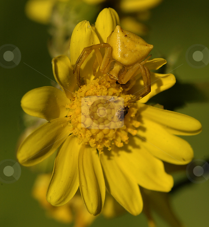 Camouflage stock photo, Yellow spider on a yellow flower in the field by Kobby Dagan