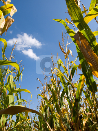 Corn field at the end of summer stock photo, Drying corn field at the end of summer by Laurent Dambies