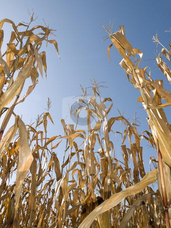 Corn crop at summer stock photo, Rows of dry corn field at the end of summer by Laurent Dambies