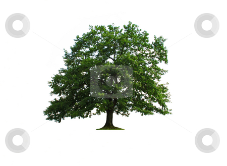 Oak tree isolated stock photo, Sole green old oak tree isolated over white by Julija Sapic
