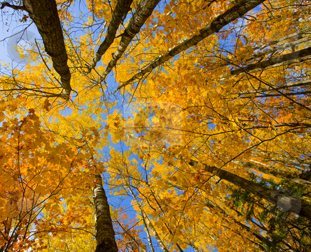 October Canopy stock photo, October canopy of maple and birch in the north woods of Minnesota by John McLaird