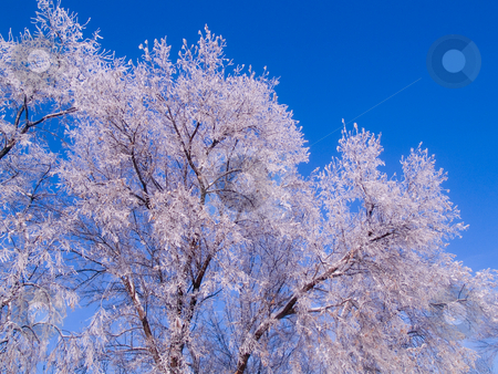 Frosted Tree Tops stock photo, Frosted tree tops and a blue sky on a rural farm road by John McLaird