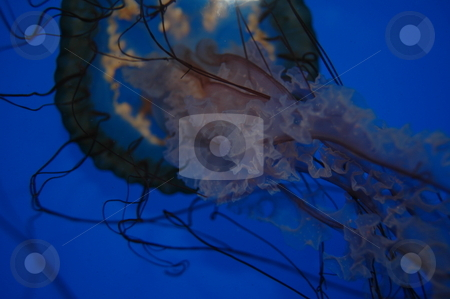 Jellyfish stock photo,  by Richard Sheehan