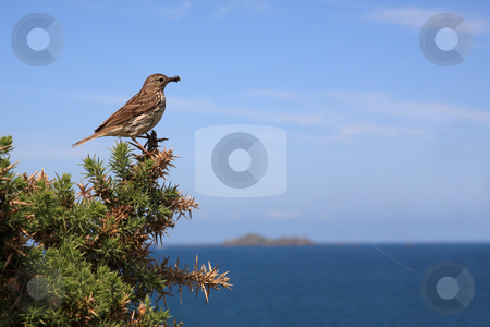 Tree Pipit stock photo, Tree Pipit (Anthus trivialis), little bird near the sea by Tilo
