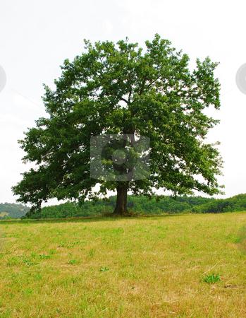 Sole oak stock photo, Sole green old oak on yellow meadow by Julija Sapic