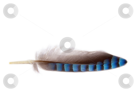 Feather stock photo, Close up of a feather grey and blue colored on a white background by Karin Claus