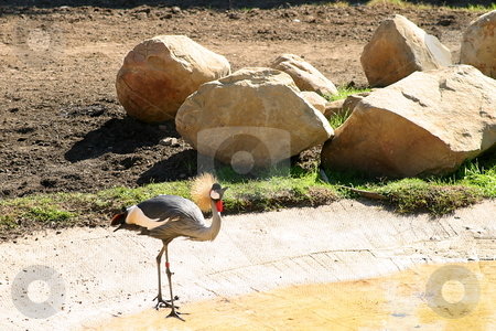East African Crowned Crane stock photo, The Grey Crowned Crane is a bird in the crane family Gruidae by Henrik Lehnerer