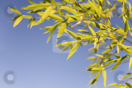 Bamboo leaves stock photo, Bamboo leaves over a blue sky by Tilo