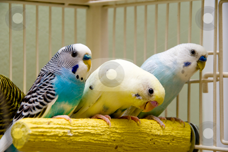 Parakeets stock photo, A pair of colorful and exotic tropical parakeets. by Robert Byron