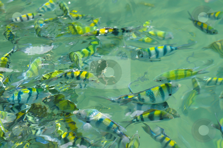 A lot of fish stock photo, A lot of tropical blue and yellow striped fishes swimming in the sea by Karin Claus