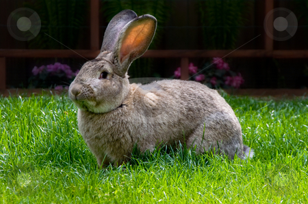 Rabbit eating stock photo, Bunny eating grass from bright green pasture by Karin Claus