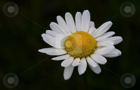 Daisy stock photo, Daisy on a dark backgound by Karin Claus