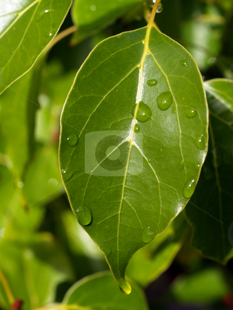 Closeup of green leaf with water drops stock photo, Drops from recent rain on green leaf by Jeff Cleveland