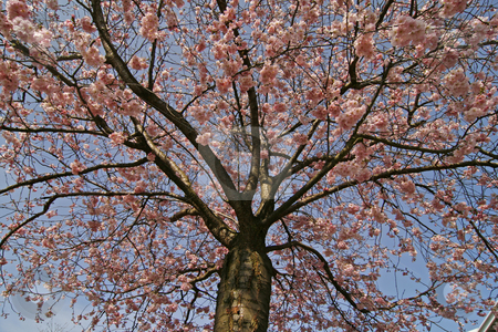 Prunus, Japanese cherry tree stock photo, Prunus, Japanese cherry tree in spring by Lothar Hinz