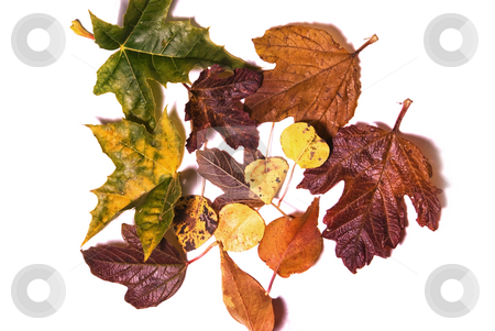 Variety of autumn leaves isolated on a white background stock photo, Assortment of shrub and tree leaves isolated on white by RCarner Photography