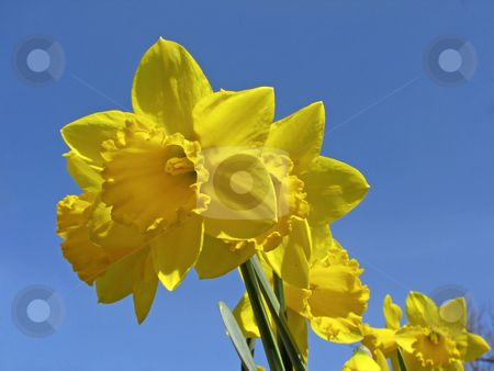 Daffodil, Lent lily (Narcissus) stock photo, Daffodil, Lent lily (Narcissus) by Lothar Hinz