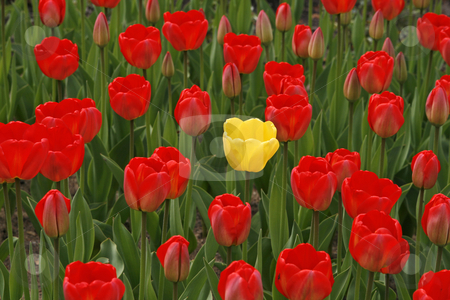 Yellow tulips with a red one in the middle (Tulipa) stock photo, Yellow tulips with a red one in the middle (Tulipa) by Lothar Hinz
