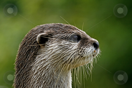 Asian Otter, Oriental Small-clawed Otter(Aonyx cinerea) stock photo, Asian Otter, Oriental Small-clawed Otter(Aonyx cinerea) by Lothar Hinz