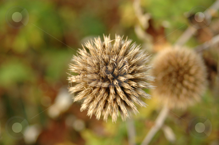 An dried flower head in Autumn stock photo,  by Richard Juggins