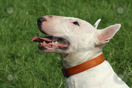 Head and shoulders of a white English bull terrier stock photo,  by Richard Juggins