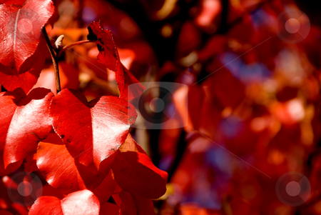 Bradford Pear Leafs stock photo, The leaf from a Bradford Pear in the autumn. by Robert Byron