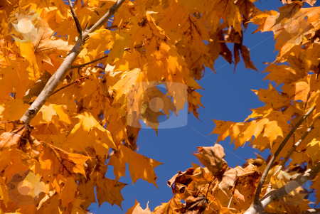 Oak Tree stock photo, An oak tree's leaves as they change color in autumn. by Robert Byron
