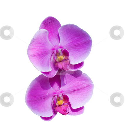 Pink orchid pair stock photo, Pair of pink orchids isolated on white by Lee Barnwell