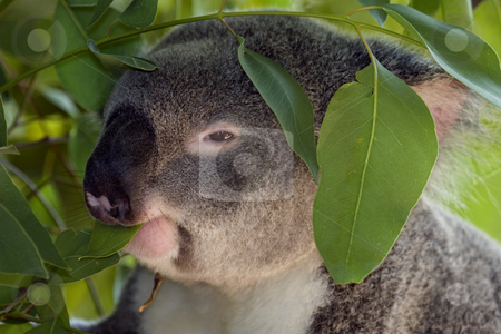 Eat your Greens stock photo, A Koala snacking on the leaves of a gum tree. by Mike Dawson