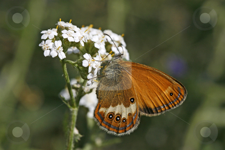 Coenonympha arcania, Endangerd butterfly, Germany stock photo, Coenonympha arcania, Endangerd butterfly, Germany by Lothar Hinz
