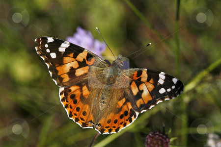 Vanessa cardui, Painted Lady, Butterfly stock photo, Vanessa cardui, Painted Lady, Butterfly by Lothar Hinz