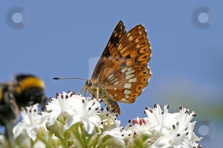 Hamearis lucina, Duke of Burgundy, Rarely butterfly in Europe stock photo, Hamearis lucina, Duke of Burgundy, Rarely butterfly in Europe by Lothar Hinz