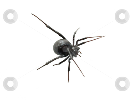 Black Widow Closeup from Top on white background stock photo, Black Widow Spider from Above Closeup white background by Jeff Cleveland