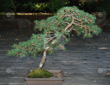Bonsai stock photo, A bonsai coniferous tree in a pot outside by Ivan Paunovic