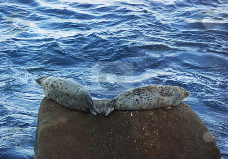 Seals stock photo, A couple of seals resting on a rock by Ivan Paunovic