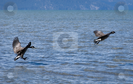 Lake Tahoe stock photo, Goose mates on a lake Tahoe flying over the water by Ivan Paunovic