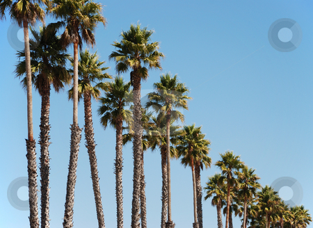 Palm trees stock photo, A row of palm trees on a sunny day by Ivan Paunovic