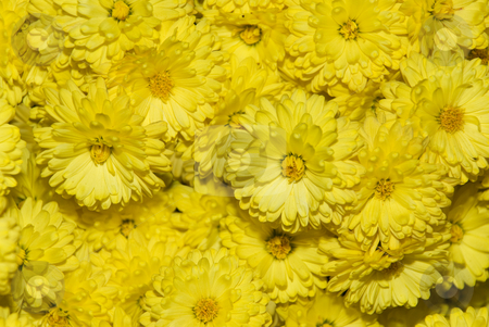 Yellow chrysanthemum stock photo, A close up of a bunch of yellow chrysanthemum flowers by Ivan Paunovic