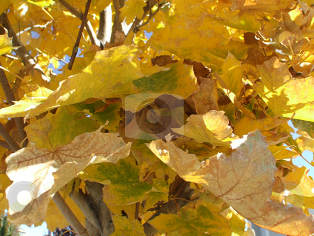 Fall Changing Maple Leaves stock photo, Maple Leaves changing to yellow in the Fall by LayZ Daisy