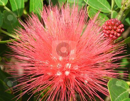 California Red Spike Flower stock photo, Taken in California by Annie Alvarez