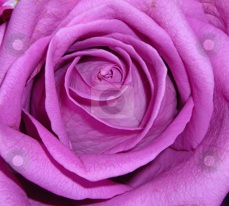 Purple Rose stock photo, Photo taken from table top arrangement by Annie Alvarez